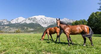 Pferde auf einer gruenen Wiese
